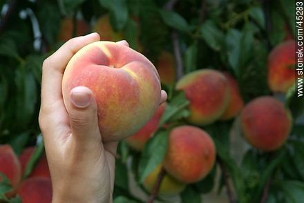 Peach - Photos of fruits - Flora - MORE IMAGES. Image #45283