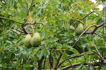 Avocados on the tree - Photos of fruits, MORE IMAGES. Image #45480