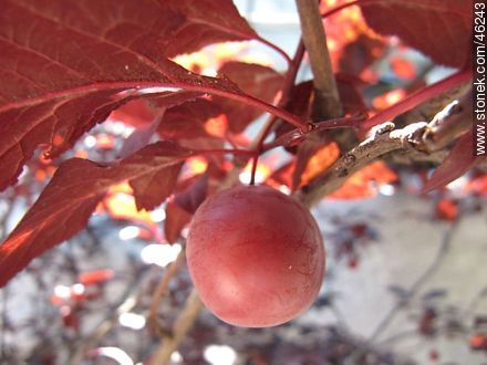 Plum in a plum tree - Photos of fruits - Flora - MORE IMAGES. Image #46243