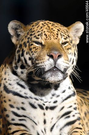 Jaguar - Photos of the Zoo of Villa Dolores - Department and city of Montevideo - URUGUAY. Image #46644