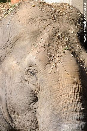 Elephant - Photos of the Zoo of Villa Dolores - Department and city of Montevideo - URUGUAY. Image #46640