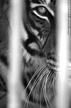 Caged tiger - Photos of the Zoo of Villa Dolores - Department and city of Montevideo - URUGUAY. Image #46636