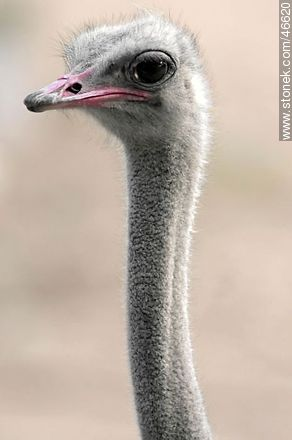 Rhea - Photos of the Zoo of Villa Dolores - Department and city of Montevideo - URUGUAY. Image #46620