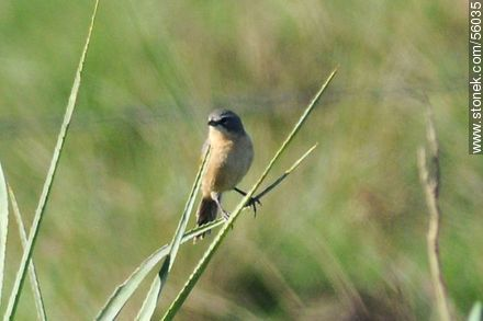 Long-tailed Reed-Finch - Photos of views of State of Rocha - Atlantic coast., URUGUAY. Image #56035