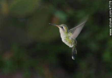 Glittering - bellied Emerald - Photos of birds - Fauna - MORE IMAGES. Image #47178