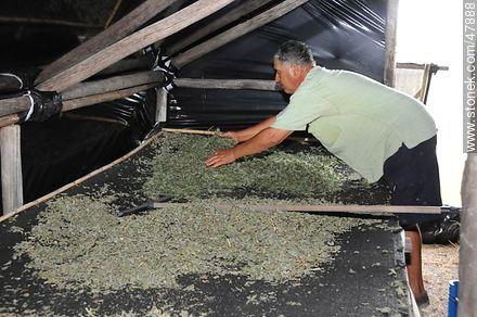 Drying herbs - Photos of San Jacinto - Department of Canelones - URUGUAY. Image #47888