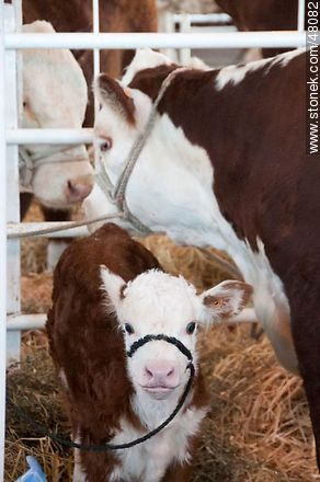 Hereford calf with his mother - Photos of a Ranching Exhibition - Department and city of Montevideo - URUGUAY. Image #48082
