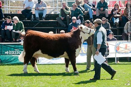 Hereford exhibition - Photos of a Ranching Exhibition - Department and city of Montevideo - URUGUAY. Image #48080