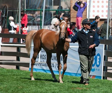 Competition for Young Horses - Photos of a Ranching Exhibition - Department and city of Montevideo - URUGUAY. Image #48058
