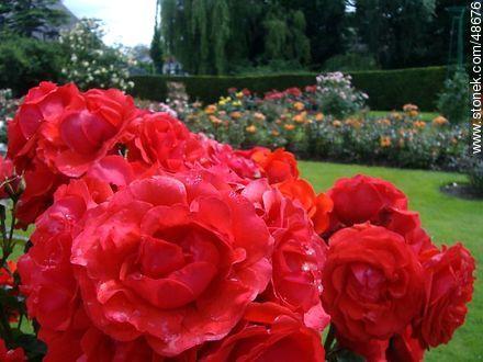 Roses in the Botanical Garden of Dublin - Photos of Dublin - Ireland - BRITISH ISLANDS. Image #48676