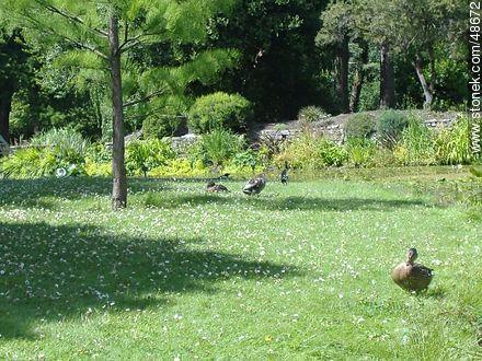 Ducks in the Botanical Garden of Dublin - Photos of Dublin - Ireland - BRITISH ISLANDS. Image #48672