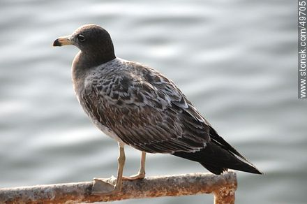 Young Kelp Gull - Photos of Arica - Chile - Others in SOUTH AMERICA. Image #49705