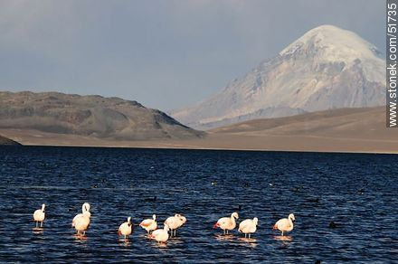 Sajama volcano. Flock of flamingos on Lake Chungará - Photos of the Province of Parinacota - Chile - Others in SOUTH AMERICA. Image #51735
