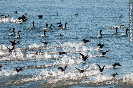 Gallaretas en la laguna Garzón volando al ras del agua. Black-necked swans. - Photos of Garzon lagoon - Department of Rocha - URUGUAY. Image #54335