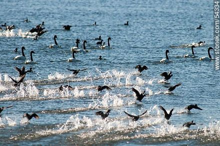 Gallaretas en la laguna Garzón volando al ras del agua. Black-necked swans. - Photos of birds - Fauna - MORE IMAGES. Image #54334