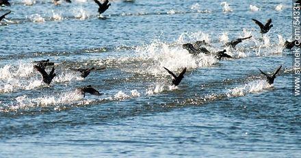 Gallaretas en la laguna Garzón volando al ras del agua. Black-necked swans. - Photos of Garzon lagoon - Department of Rocha - URUGUAY. Image #54331