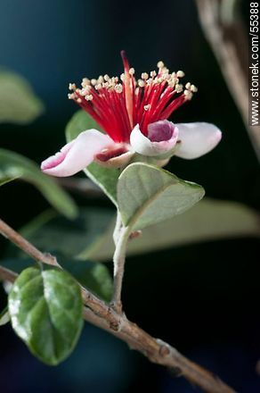 Native guava flower - Photos of flowers - Flora - MORE IMAGES. Image #55388