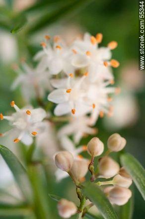 Asparagus umbellatus flower - Photos of flowers - Flora - MORE IMAGES. Image #55344