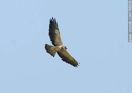 Swainson's Hawk  - Variety of photos of Flores, URUGUAY. Image #56008