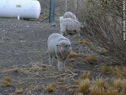 Sheeps - Photos of El Calafate - ARGENTINA. Image #56656