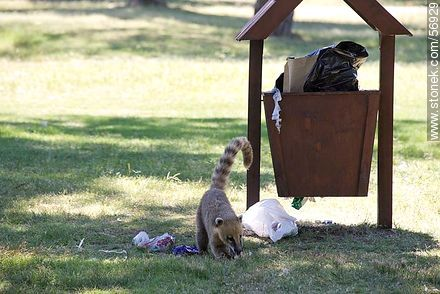 Free coati looking in the trash - Photos of the city of Trinidad, URUGUAY. Image #56929