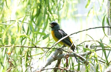 Blue-and-yellow Tanager - Photos of the city of Trinidad, URUGUAY. Image #56917