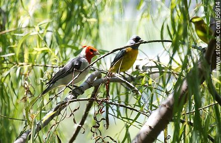 Naranjero and Red-crested Cardinal - Photos of the city of Trinidad, URUGUAY. Image #56914