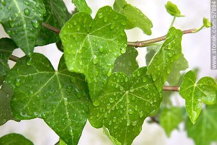 Wet ivy leaves - Photos of plants - Flora - MORE IMAGES. Image #57884