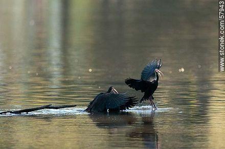 Bare-faced Ibis in Parque Rivera - Photos of birds - Fauna - MORE IMAGES. Image #57943