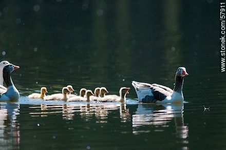 Goose Family at the lake of Parque Rivera - Photos of birds - Fauna - MORE IMAGES. Image #57911