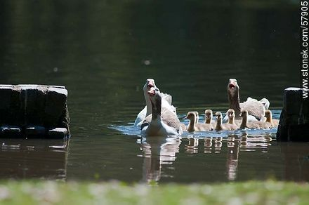 Goose Family at the lake of Parque Rivera - Photos of birds - Fauna - MORE IMAGES. Image #57905