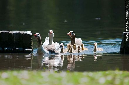 Goose Family at the lake of Parque Rivera - Photos of birds - Fauna - MORE IMAGES. Image #57903