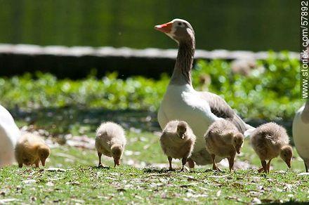 Goose Family at Rivera Park - Photos of birds - Fauna - MORE IMAGES. Image #57892