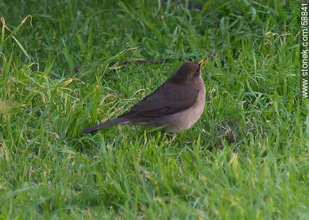 Creamy - bellied Thrush - Photos of birds - Fauna - MORE IMAGES. Image #58841
