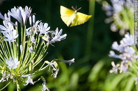 Agapanthus with yellow butterfly - Photos of UTE-ANTEL Vacations Resort - Lavalleja - URUGUAY. Image #59853