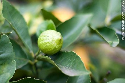 Lemon growing - Photos of fruits, MORE IMAGES. Image #60427