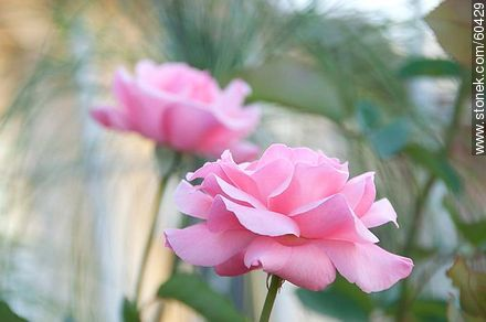 Pink rose - Photos of roses - Flora - MORE IMAGES. Image #60429