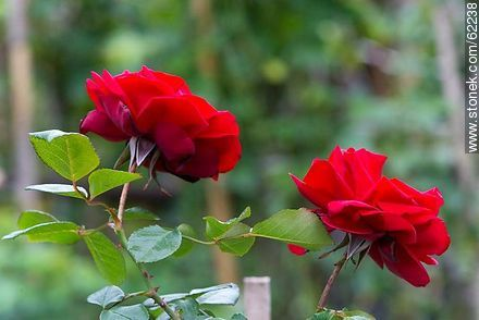 Red roses in the plant - Photos of roses - Flora - MORE IMAGES. Image #62238