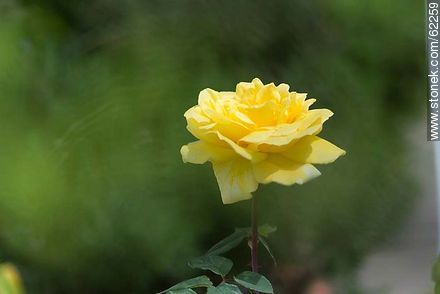 Yellow rose - Photos of roses - Flora - MORE IMAGES. Image #62259