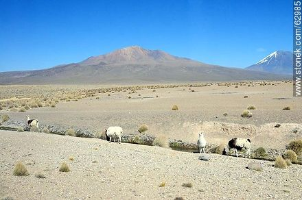 Llamas in the park Sajama - Photos of Departmant of La Paz - Altiplano, Others in SOUTH AMERICA. Image #62985