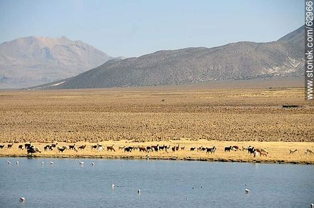 Llamas and flamingos in the Sajama Park - Photos of Departmant of La Paz - Altiplano, Others in SOUTH AMERICA. Image #62966