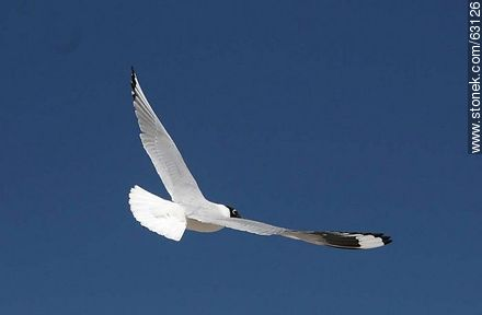 Andean Gull in flight - Photos of the Province of Parinacota - Chile - Others in SOUTH AMERICA. Image #63126