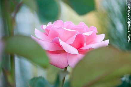 Pink rose - Photos of roses - Flora - MORE IMAGES. Image #64386