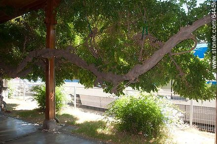 Old tree in Limache station - Photos of Limache - Chile - Others in SOUTH AMERICA. Image #64451