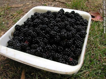 Blackberries - Photos of fruits - Flora - MORE IMAGES. Image #64596