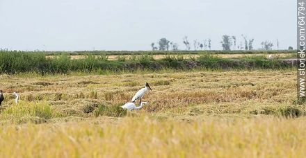 Heron, stork and crested caracara - Photos of rural landscapes of Treinta y Tres - URUGUAY, URUGUAY. Image #64794