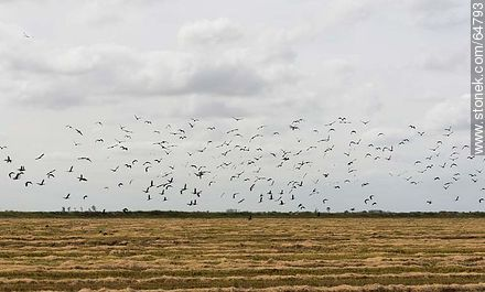 Birds on freshly harvested rice fields - Photos of rural landscapes of Treinta y Tres - URUGUAY, URUGUAY. Image #64793