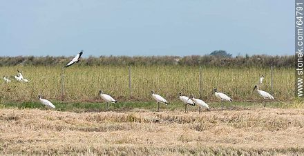Storks in rice fields - Photos of rural landscapes of Treinta y Tres - URUGUAY, URUGUAY. Image #64791
