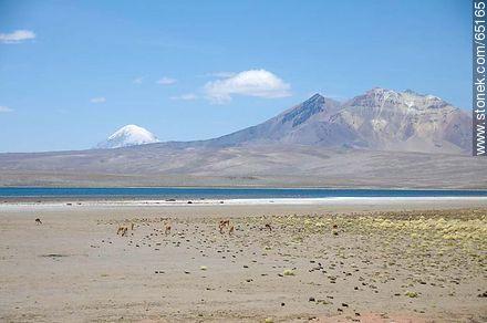 Chungará Lake. Volcano Sajama volcano and Kishi Quisini. Llamas - Photos of the Province of Parinacota - Chile - Others in SOUTH AMERICA. Image #65165