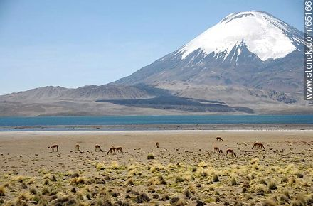 Chungará Lake. Parinacota volcano. Llamas - Photos of the Province of Parinacota - Chile - Others in SOUTH AMERICA. Image #65166